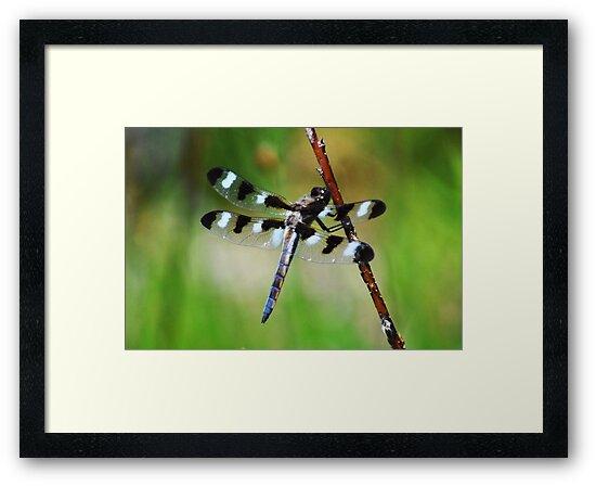 Twelve Spotted Skimmer by Rodney Campbell