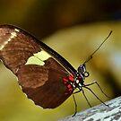 Heliconius Doris, or Doris Longwing Butterfly by Eileen Brymer