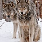 Christmas Card - Timber Wolves by Michael Cummings