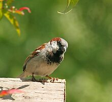 House sparrow by LisaRoberts