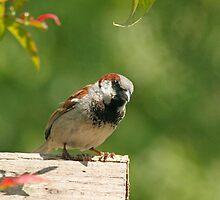 House sparrow by LisaRoberts