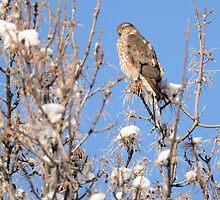 Winter Sharp-shinned Hawk by DWMMPhotography