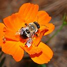 Bumblebee on bright orange flower by  B. Randi Bailey