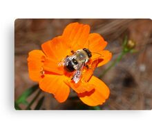 Bumblebee on bright orange flower Canvas Print