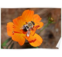 Bumblebee on bright orange flower Poster