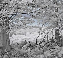 The Sycamore Tree - Infrared by Ann Garrett