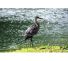 Waterlogged Heron Photographic Print