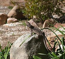The Rock Sitter! Bearded Dragon welcomes the sunshine! by Rita Blom