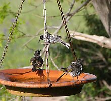 'DID YOU WASH BEHIND YOUR EAR'S!' New Holland Honeyeaters. by Rita Blom