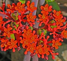 Jatropha Podagrica by Graeme  Hyde