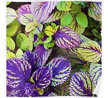 """Colorful Coleus"" Poster"