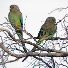 Female Mulga Parrots (Psephotus varius) - Point Lowly Peninsula, South Australia by Dan & Emma Monceaux