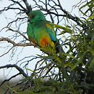 Mulga Parrot (Psephotus varius) - Point Lowly Peninsula, South Australia by Dan & Emma Monceaux