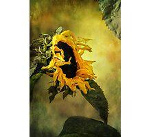 Sunflower, Photographic Print