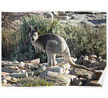 Euro (Macropus robustus) - Black Point, South Australia Poster