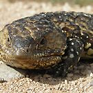 Stumpy-tailed Lizard (Tiliqua rugosa) - Port Bonython, South Australia by Dan & Emma Monceaux