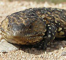 Stumpy-tailed Lizard (Tiliqua rugosa) - Port Bonython, South Australia by Dan & Emma Monceaux