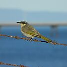 Singing Honeyeater (Lichenostomus virescens) - Port Bonython, South Australia by Dan & Emma Monceaux