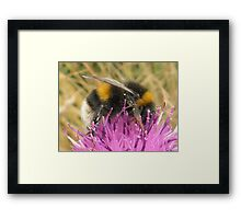 A Scottish Bumble Bee Framed Print