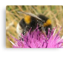 A Scottish Bumble Bee Canvas Print