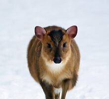 Muntjac Deer - Running in Snow (Portrait) by George Wheelhouse