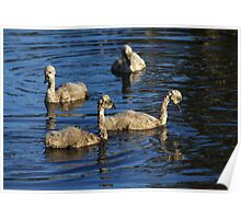 Sibling Cygnets 3 Poster