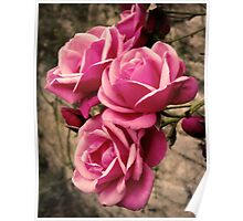 Pink Pirouette Roses Poster
