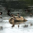 A lot ducks in river reflection by Antanas
