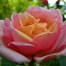 Reconciliation Rose by Rewards4life