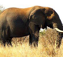 Loxodonta africana by Elizabeth Kendall