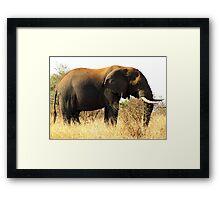 Loxodonta africana Framed Print