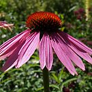 Echinacea by Lee d'Entremont