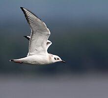 Bonaparte's Gull In Flight by Gary Fairhead