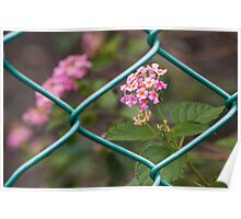 Common Lantana and Fence Poster