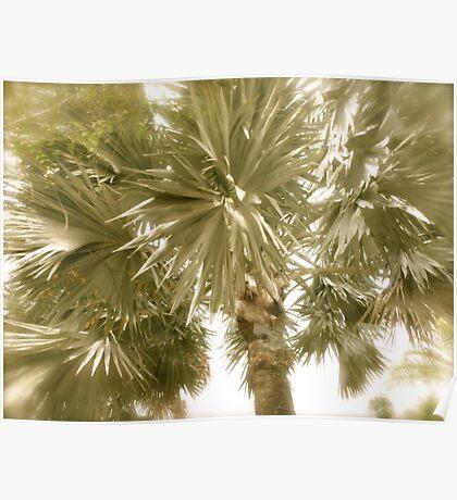 Palm Tree- St. Kitts, Eastern Caribbean Poster