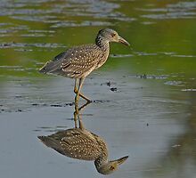 Yellow-crowned Night-Heron, immature by photosbyjoe