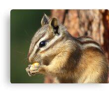 Adorable little chipmunk eating corn. Canvas Print
