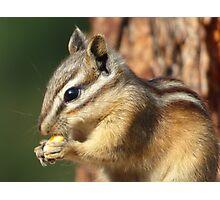 Adorable little chipmunk eating corn. Photographic Print
