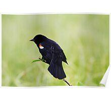 Blackbird on a Branch Poster