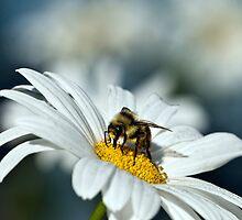 Bee on Daisy by David Friederich