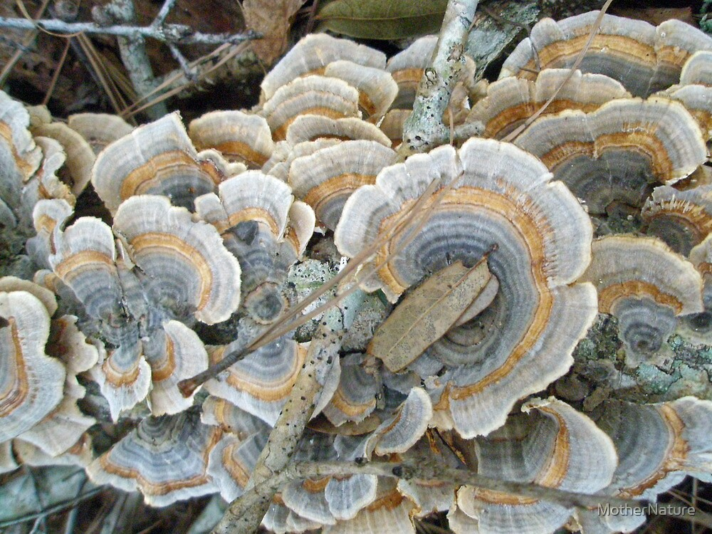 Turkey Tail Shelf Fungus - Trametes versicolor by MotherNature