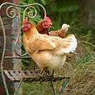 We Are The &quot;CHAIRful&quot; Chooks Of Tranquillity! Chooks  - NZ by AndreaEL