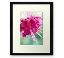 Bella Rosella Framed Print