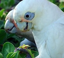 Little corellas having a bite to eat by Angie66