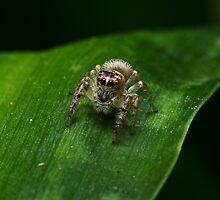 Jumping Spider by Colin  Ewington