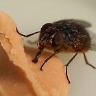 House fly macro by Justin Knewstub