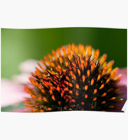 Echinacea Close Up Poster