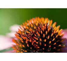 Echinacea Close Up Photographic Print