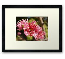Nectarines ... eventually Framed Print