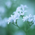 Galium Odoratum   by JUSTART